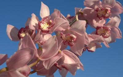 Beautiful pink orchids wallpaper