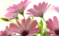 Beautiful pink osteospermum wallpaper 1920x1200 jpg
