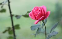 Beautiful pink rose wallpaper 1920x1200 jpg