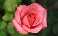 Beautiful pink rose [2] wallpaper 1920x1200 jpg
