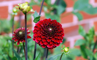 Beautiful red dahlia wallpaper 1920x1200 jpg