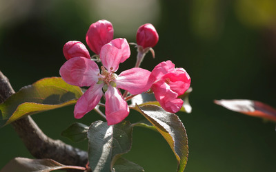 Beautiful spring pink blossoms wallpaper