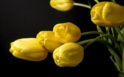Beautiful tulips with yellow petals wallpaper