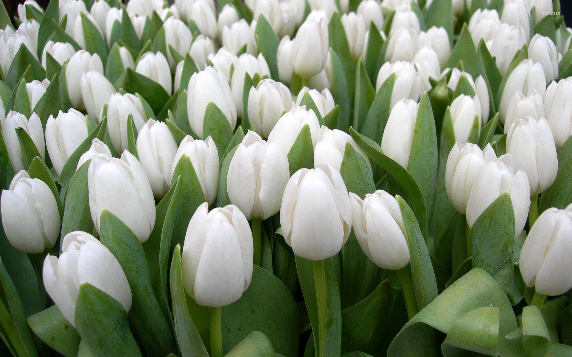 Beautiful White Tulips Wallpaper