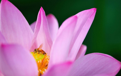 Bee on a lotus wallpaper