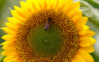 Bee on sunflower wallpaper 1920x1080 jpg