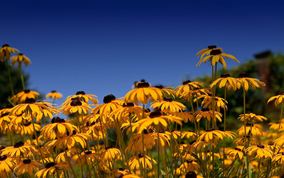 Black-eyed Susan wallpaper