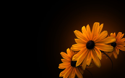 Black-eyed Susans [2] wallpaper