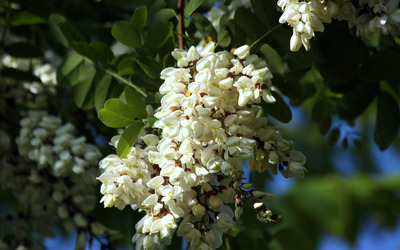 Black locust wallpaper