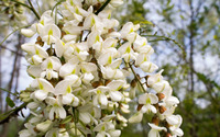 Black Locust blossoms wallpaper 2880x1800 jpg