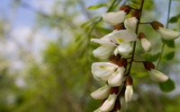 Black Locust blossoms [2] wallpaper 2880x1800 jpg