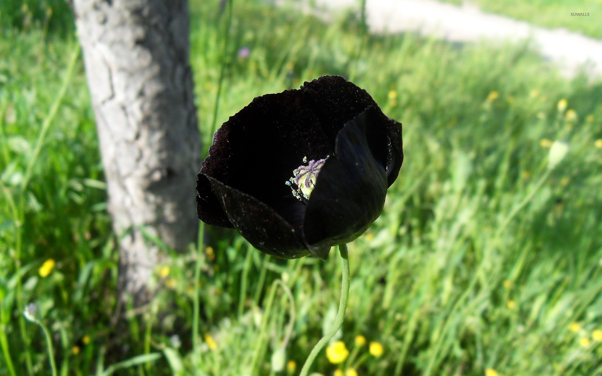 Black poppy wallpaper - Flower wallpapers - #9262