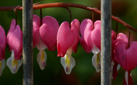 Bleeding heart wallpaper 1920x1200 jpg