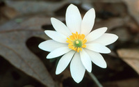 Bloodroot wallpaper 2560x1600 jpg