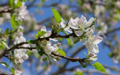 Blossomed apple branch wallpaper