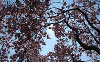 Blossomed magnolia tree wallpaper 2880x1800 jpg