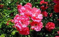 Blossomed pink roses [2] wallpaper 1920x1200 jpg