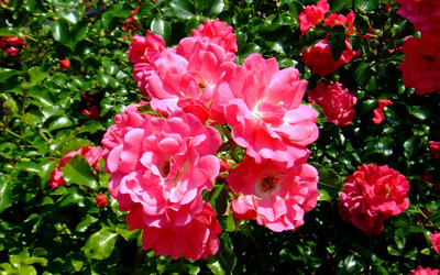 Blossomed pink roses [2] wallpaper