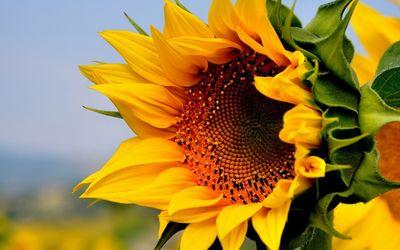 Blossomed sunflower wallpaper