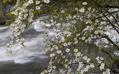 Blossomed tree above the river wallpaper