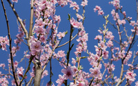 Blossoming peach tree wallpaper 2880x1800 jpg