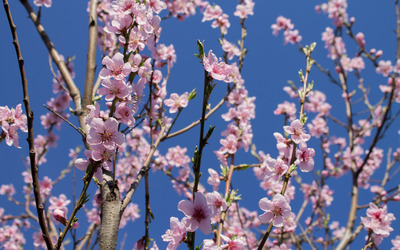 Blossoming peach tree wallpaper