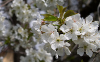 Blossoming sour cherry branch wallpaper 2880x1800 jpg