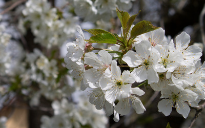 Blossoming sour cherry branch wallpaper