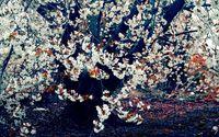 Blossoming tree wallpaper 1920x1200 jpg