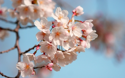 Blossoms [2] wallpaper