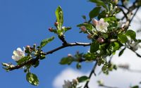 Blossoms and buds on the apple branch wallpaper 3840x2160 jpg
