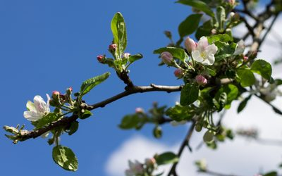 Blossoms and buds on the apple branch wallpaper
