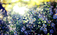 Blue asters wallpaper 1920x1200 jpg