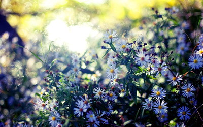 Blue asters wallpaper