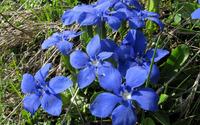 Blue blossoms wallpaper 1920x1200 jpg