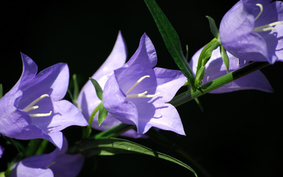 Blue Chip Bellflower wallpaper