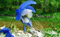 Blue columbine wallpaper 1920x1080 jpg