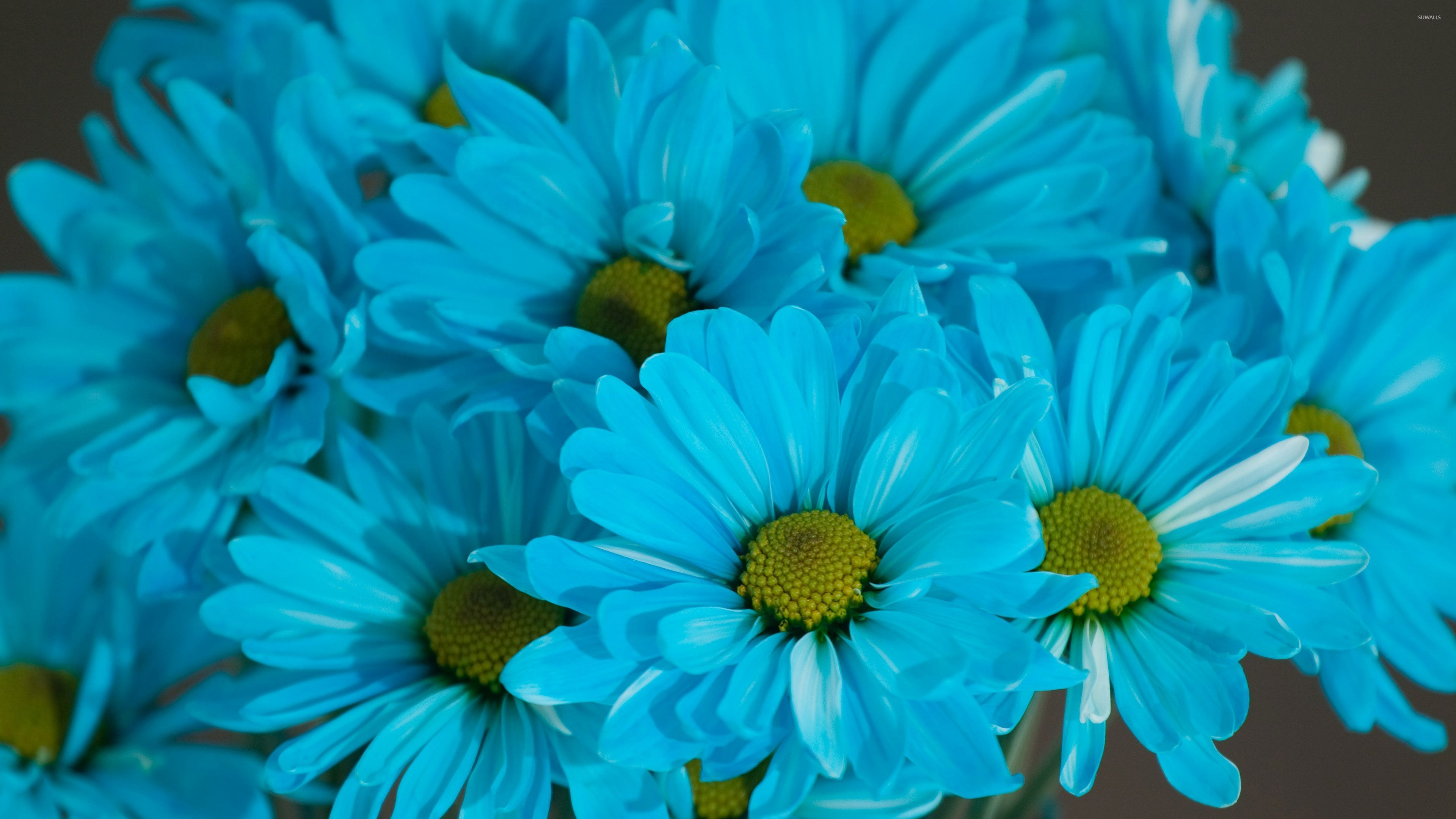 Blue Daisies wallpaper - Flower wallpapers - #32166