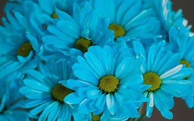 Blue Daisies wallpaper
