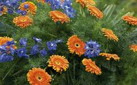 Blue flowers by the orange gerberas wallpaper 2560x1600 jpg