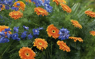 Blue flowers by the orange gerberas wallpaper