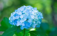 Blue hydrangea wallpaper 1920x1200 jpg