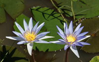 Blue Water Lilies wallpaper 1920x1080 jpg