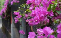 Bougainvillea wallpaper 1920x1200 jpg