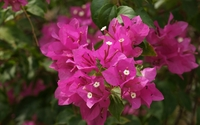 Bougainvillea close-up wallpaper 1920x1080 jpg