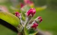 Bright pink apple buds wallpaper 2880x1800 jpg