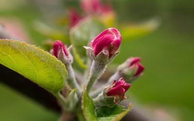 Bright pink apple buds wallpaper