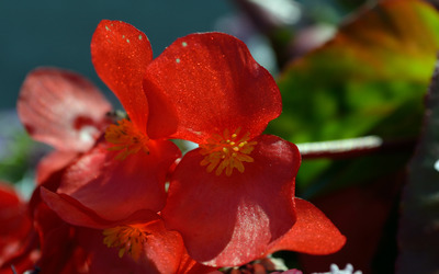 Bright red blossoms wallpaper