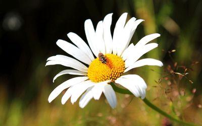 Bug on a white chrysanthemum wallpaper