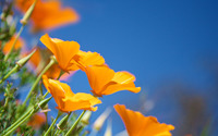 California poppies wallpaper 1920x1200 jpg